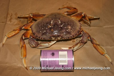 Crab sized up using a tin can